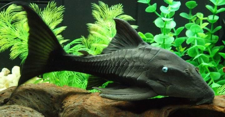 پرطرفدارترین ماهی های آکواریومی - ماهی لجن خوار