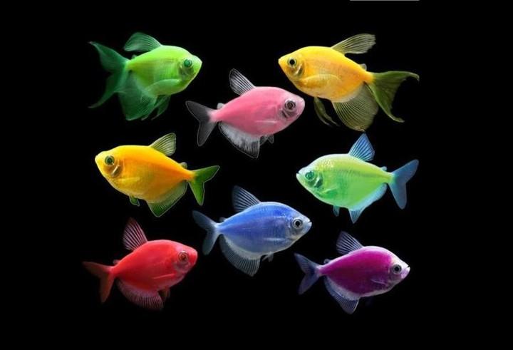 پرطرفدارترین ماهی های آکواریومی - گلوفیش