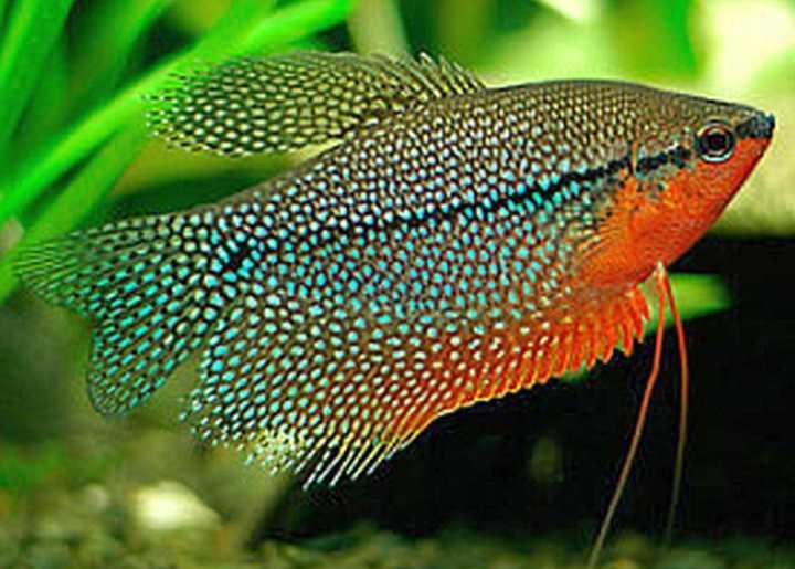 پرطرفدارترین ماهی های آکواریومی - گورامی مرواریدی