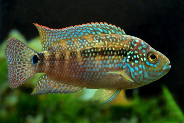 پرطرفدارترین ماهی های آکواریومی - ماهی جک دمپسی