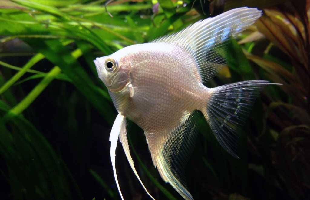 پرطرفدارترین ماهی های آکواریومی - فرشته ماهی