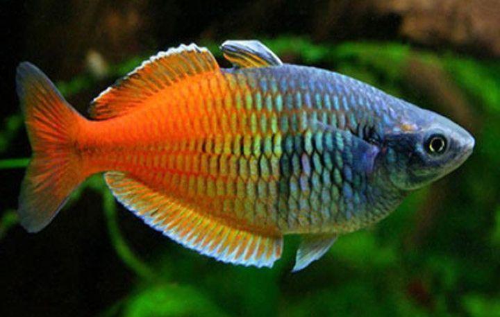 پرطرفدارترین ماهی های آکواریومی - ماهی رنگین کمان
