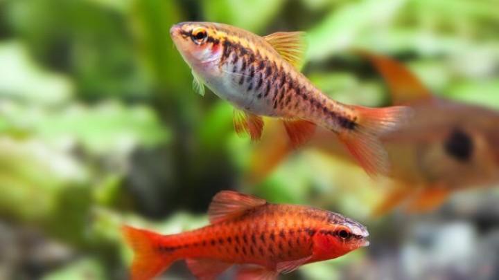 پرطرفدارترین ماهی های آکواریومی - بارب گیلاسی یا بارب آلبالویی