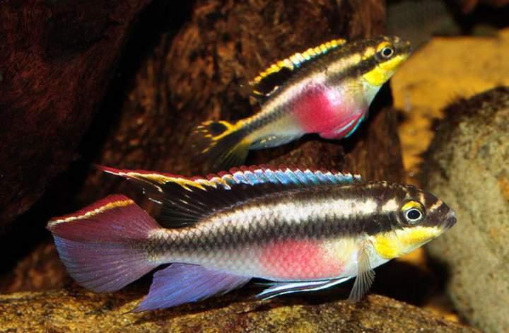 پرطرفدارترین ماهی های آکواریومی - سیکلید کریب