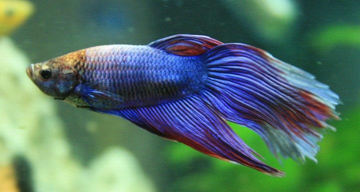 پرطرفدارترین ماهی های آکواریومی - ماهی جنگجوی سیامی