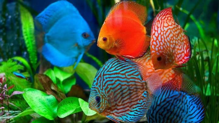 پرطرفدارترین ماهی های آکواریومی - دیسکاس