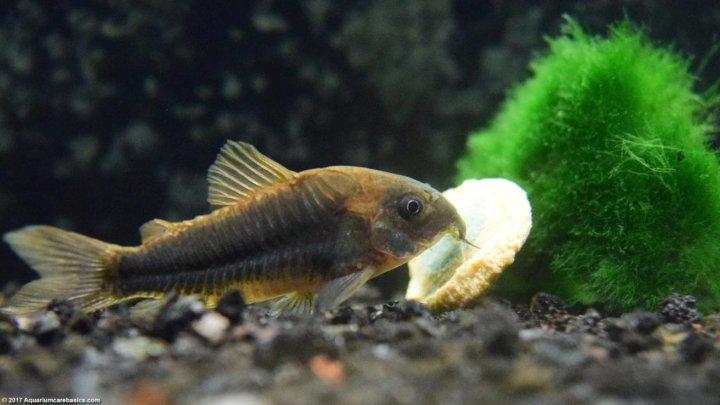 پرطرفدارترین ماهی های آکواریومی - گربه ماهی کوریدوراس