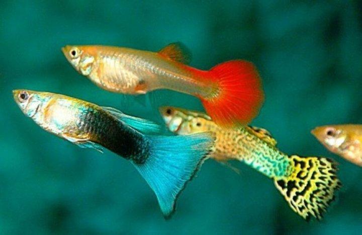 پرطرفدارترین ماهی های آکواریومی گوپی
