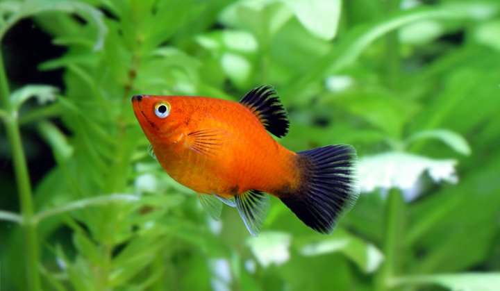 پرطرفدارترین ماهی های آکواریومی - پلاتی