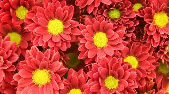 گل داوودی از گیاهان پاییزی - زیباترین گل های پاییزی