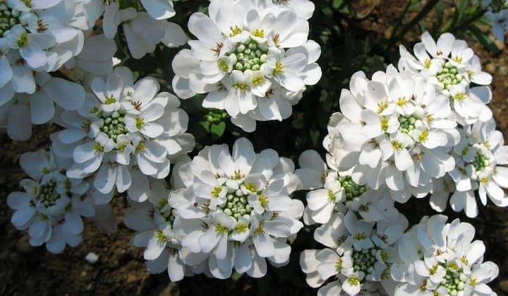 ایبریس از گیاهان پاییزی - زیباترین گل های پاییزی