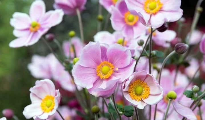 آنمون ژاپنی از گیاهان پاییزی - زیباترین گل های پاییزی