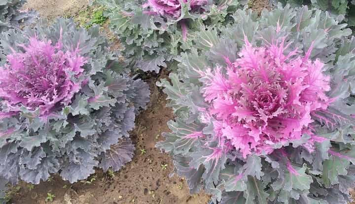 کالی تزئینی از گیاهان پاییزی - زیباترین گل های پاییزی