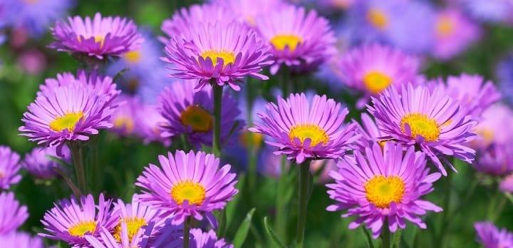 گل ستاره ای از گیاهان پاییزی - زیباترین گل های پاییزی