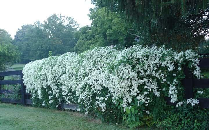 کلماتیس از گیاهان پاییزی - زیباترین گل های پاییزی