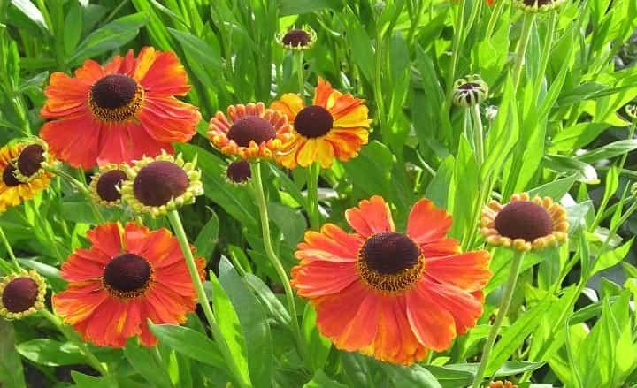 هلنیوم از گیاهان پاییزی - زیباترین گل های پاییزی
