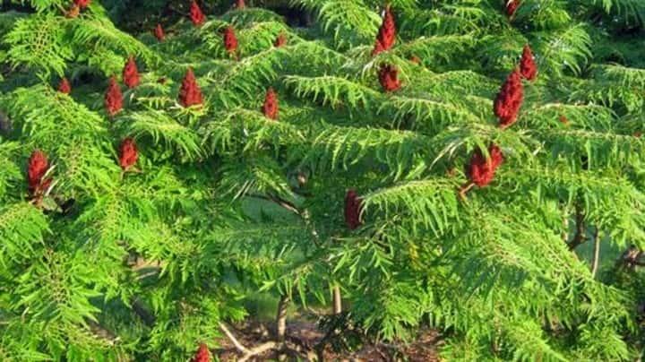 گیاه پاییزهٔ سماق - زیباترین گل های پاییزی