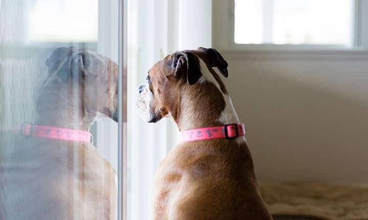 قرنطینه سگها و حیوانات خانگی برای مقابله با ویروس کرونا