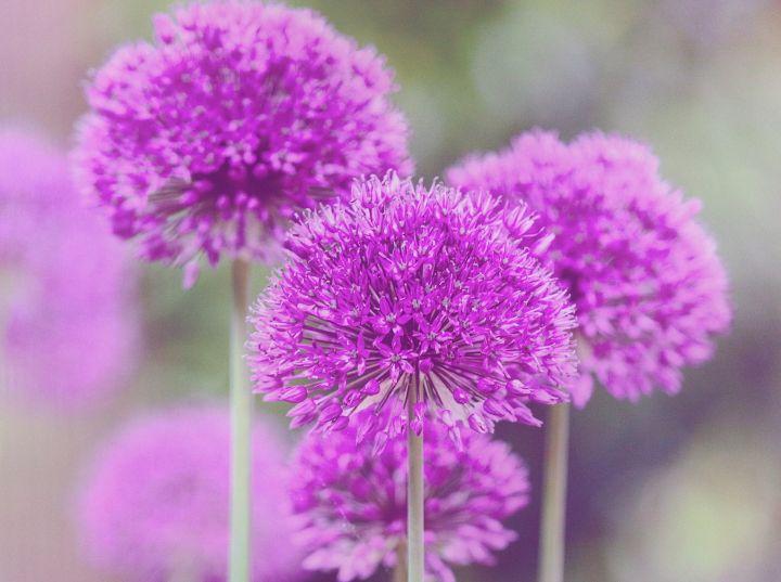گل آلیوم برای آماده سازی باغچه برای بهار