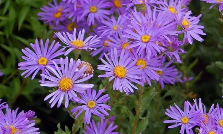 گل ستاره ای برای آماده سازی باغچه برای بهار