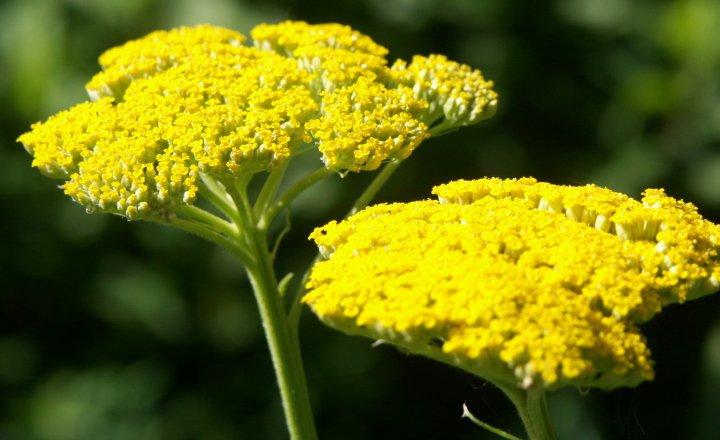 بومادران برای آماده سازی باغچه برای بهار