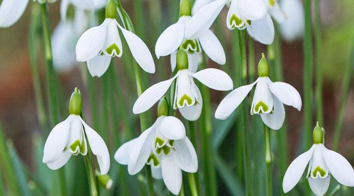 گل برفی از انواع گلهای خانگی مقاوم است