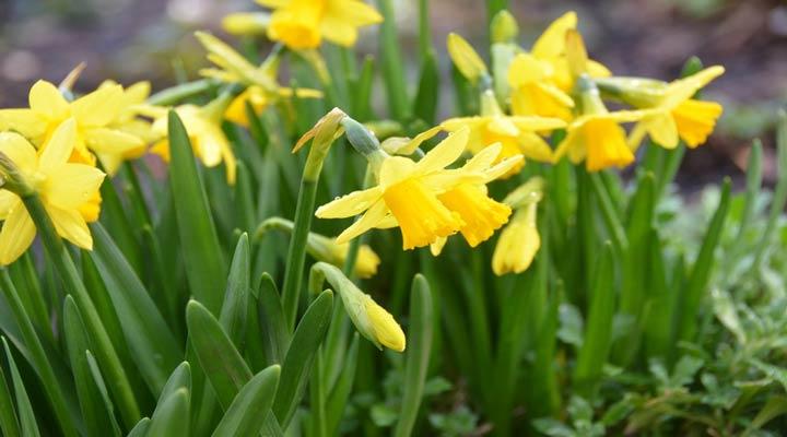 نرگس زرد از انواع گلهای خانگی مقاوم باغچه ای است