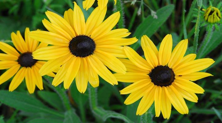 گل کوکب کوهی از سری گلهای خانگی مقاوم است