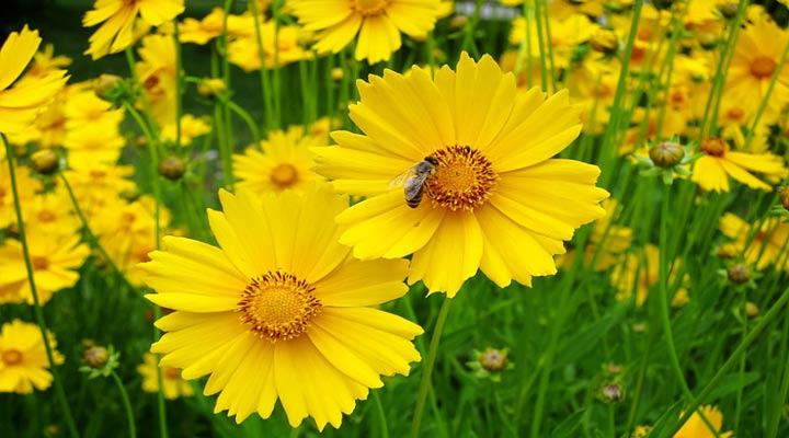 اشرفی یکی از انواع گلهای خانگی مقاوم است