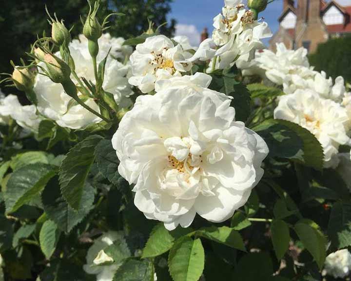 آلبا یکی از انواع گل رز