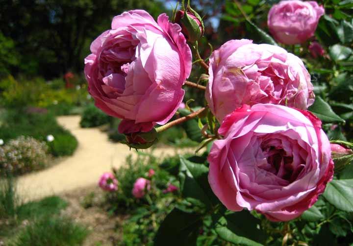 بوربون معطر یکی انواع گل رز