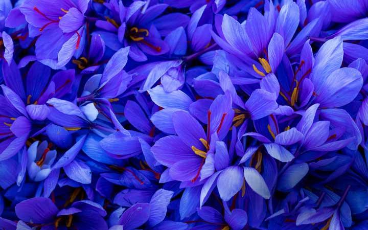 گل زعفران از گران ترین گل های دنیا