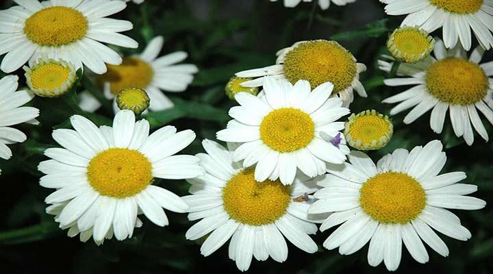 گل مروارید شستا یکی از نمونههای گلهای خانگی مقاوم است