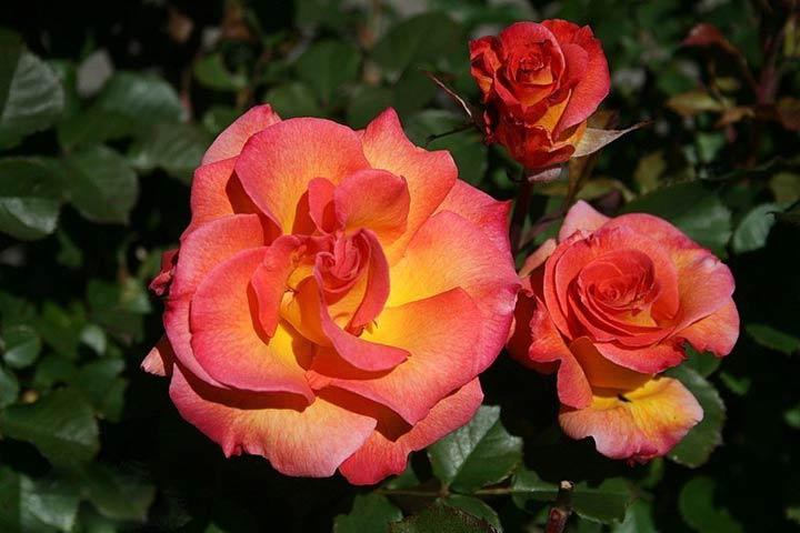 فلوریبوندا یکی از انواع گل رز