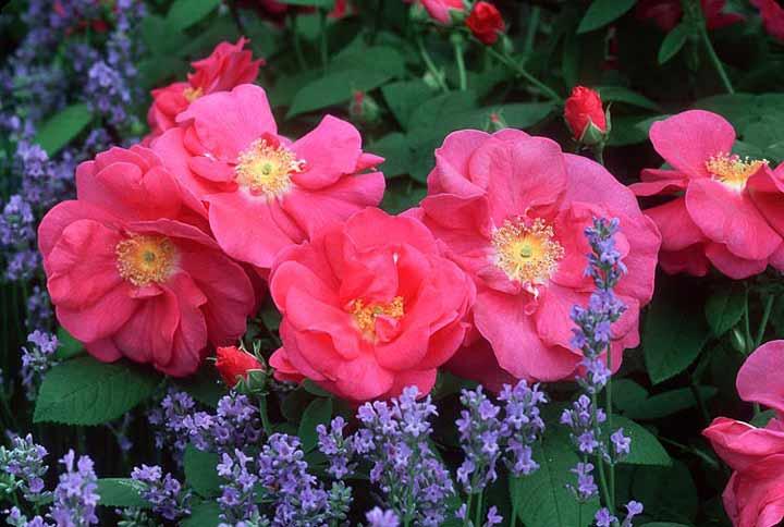 رز گالیکا یکی از انواع گل رز