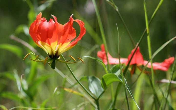 گلوریوسا از گران ترین گل های دنیا