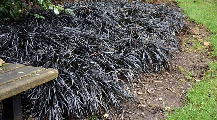 علف موندو سیاه از گلهای مقاوم باغچه است