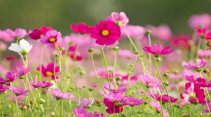 شاه اشرفی یکی از انواع گلهای خانگی مقاوم است
