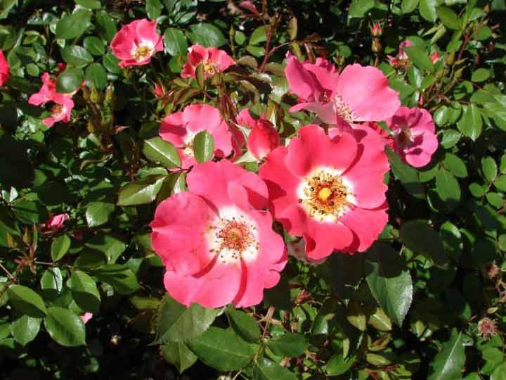 میدیلند یکی از انواع گل رز