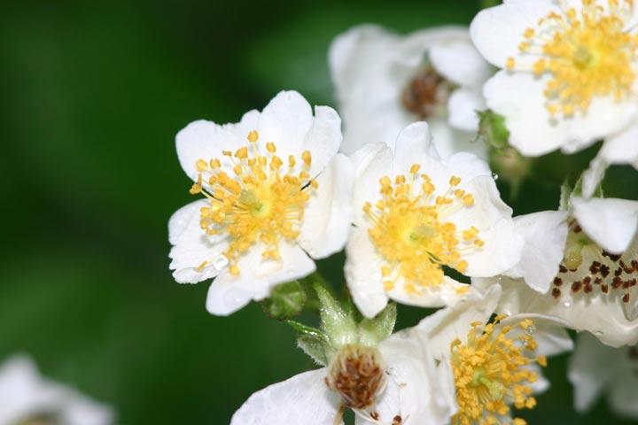 رز خوشهای یکی از انواع گل رز معطر
