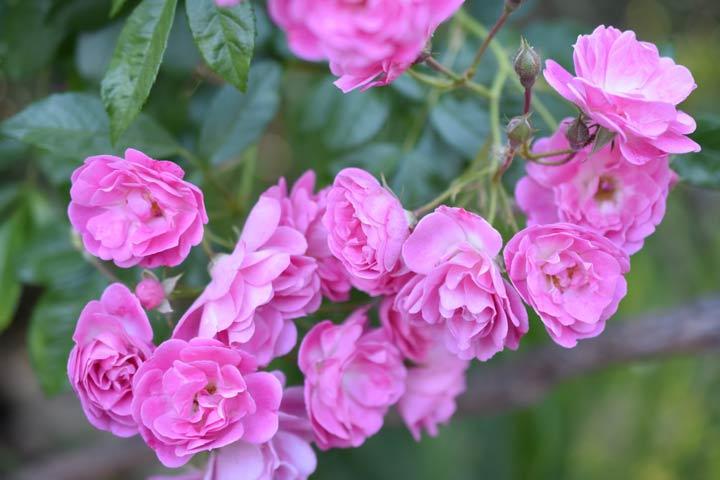 پولیانتا یکی از انواع گل رز معطر