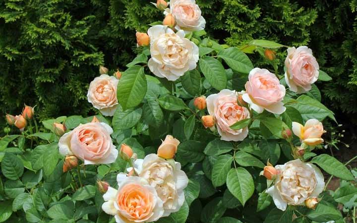 رُز ژولیِت از گران ترین گل های دنیا