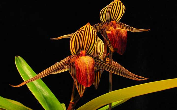 ارکیده طلایی کینابالو از گران ترین گل های دنیا
