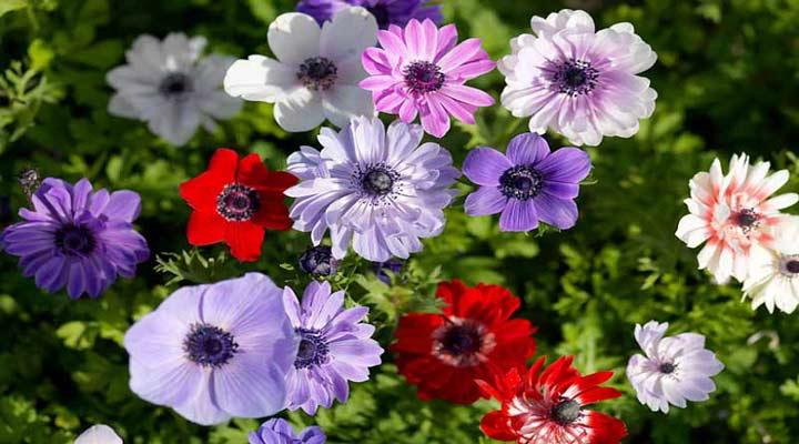 شقایق نعمانی یکی از انواع گلهای باغچه ای است