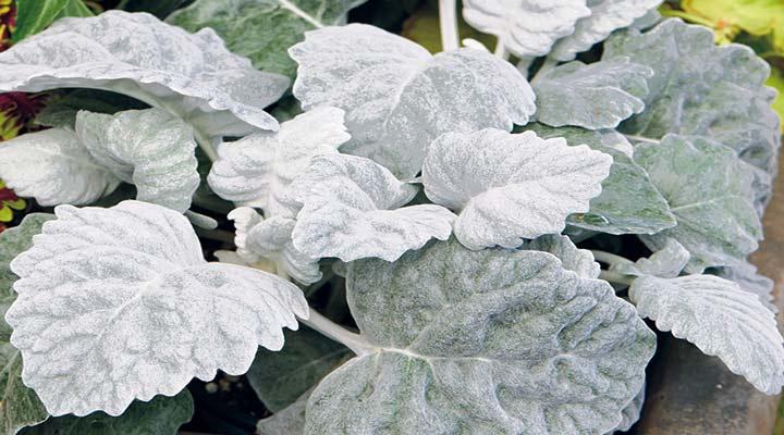 برگ نقرهای گیاهای مقاوم برای باغچه است