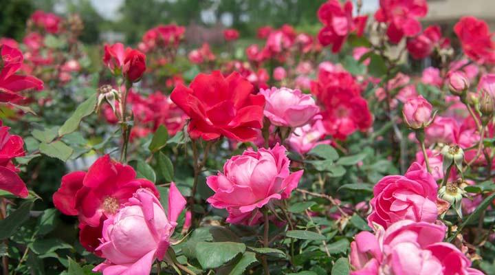 رز ناک آوت از عنوان گل رز و مناسب فضای باغچه است