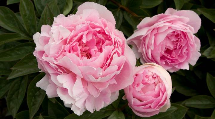 گل صدتومانی گلی مقاوم و ماندگار