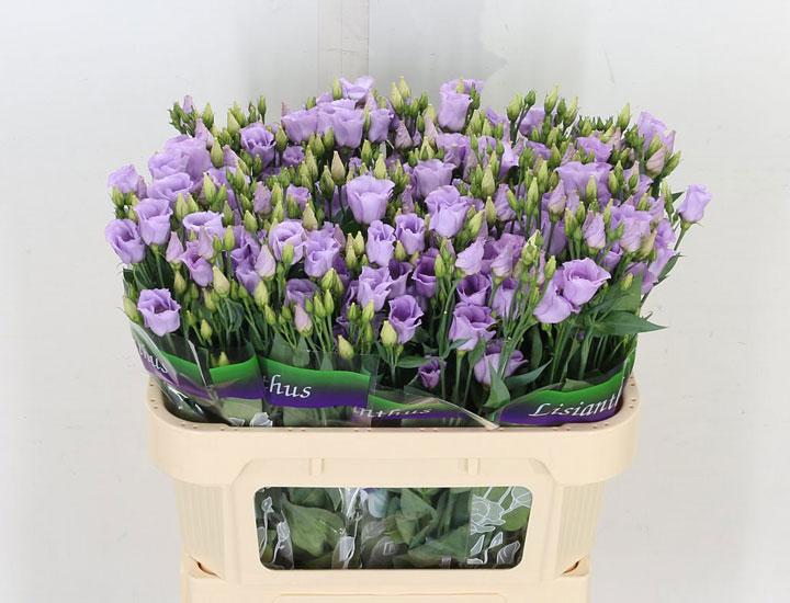 لیسیانتوس از گران ترین گل های دنیا