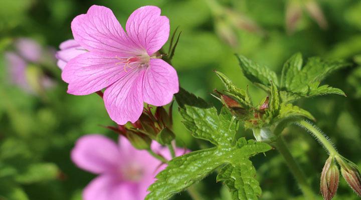 گل شمعدانی گلی زیبا و ماندگار برای باغچه است