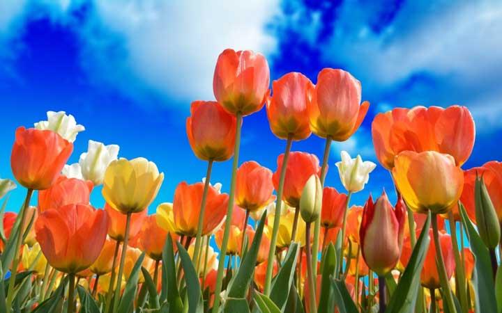 لالههای هلندی از گران ترین گل های دنیا